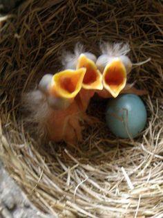 Tiny Baby Robins!!