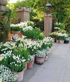 Container Gardening Ideas Beautiful french cottage garden design ideas 45 white bulbs mass planted in aged terracotta pots beautiful garden design Inspriation