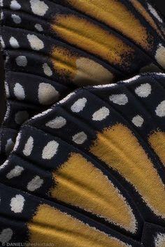 Alas de mariposa monarca