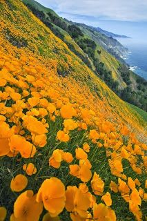Poppies, Big Sur, California - Shared from The Nicest Pictures