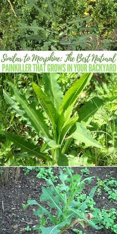 Similar to Morphine: The Best Natural Painkiller that Grows in Your Backyard - tips