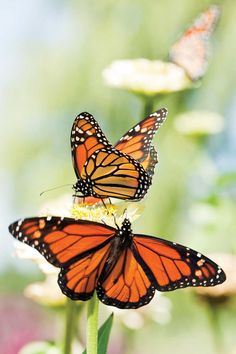 Plant a butterfly garden to attract all kinds of native pollinators to your yard and enjoy a diversity of wildlife, colorful blooms and natural pest control.