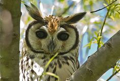 Hibou strié - Striped Owl The beauty of the birds
