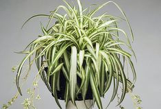 Vigan, Spider Plants, Herbs, Gardening, Lawn And Garden, Herb, Horticulture, Medicinal Plants