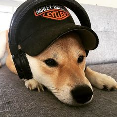 Just a dog with Headphones and Cap #shiba #shibainu #inu #dog #doggy #cap #harleydavidson #marshall #headphones #chillin #bestdog #cool #coolness #gangsterdog #nala #home #sweet #cuteness #bestfriend #fox #music via Headphones on Instagram - Best Sound Quality Audiophile Headphones and High-Fidelity Premium Earbuds for Hi-Fi Music Lovers by AudiophileCans