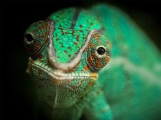 Chameleon Picture -- Pet Photo -- National Geographic Photo of the Day