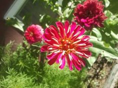 Yeah, Zinnias are cool too.