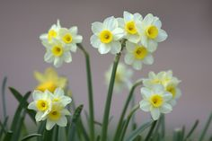 "Dwarf Tazzeta Daffodil 'Minnow' (Narcissus) - mid-spring - The flowers of these daffodils are really teeny tiny but they're so cute and have a wonderful fragrance that belies their smallness! They form in cute clusters of about three or four on 6"" stalks. I love this daffodil!"