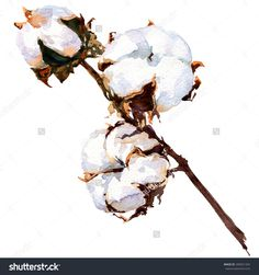 Cotton plant flower isolated, watercolor painting on white background