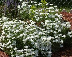 "Candytuft is one of my favorite ""pure white"" flowers. It blooms in May-June. The flowers of this perennial ground cover are fascinating closeup. But for those time when you're not viewing the plant from nearby, be sure to plant en masse for optimal effect: http://landscaping.about.com/od/perennialflowers/p/candy_tuft.htm"