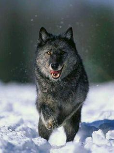 Yucon Wolf