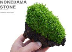 kokedama stone hemianthus callitrichoides rareaquaticplants