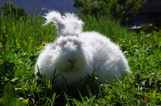 The German Angora Rabbit is a friendly, long-haired rabbit that makes a great family pet. Known for its long, very fine and woolen fur. Long Haired Rabbits, Rabbit Breeds, Angora Rabbit, Farm Animals, Bunnies, Crocheting, German, Knitting, Pets