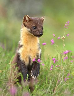 American Pine Marten - The American marten is a long, slender-bodied weasel about the size of a mink with relatively large rounded ears, short limbs, and a bushy tail. Body length ranges from 1.5 to 2.2 feet. Adult weight ranges from 1.1 to 3.1 pounds and varies by age and location. The American marten is broadly distributed in northern North America.