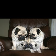 Family...is everything... This is sort f what I imagined of my pug Percy and my other pug Pringy had a family!