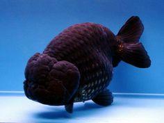 Comet Goldfish, Goldfish Tank, Lionhead Goldfish, Animals And Pets, Cute Animals, Golden Fish, Cool Fish, Freshwater Aquarium Fish, Beautiful Fish