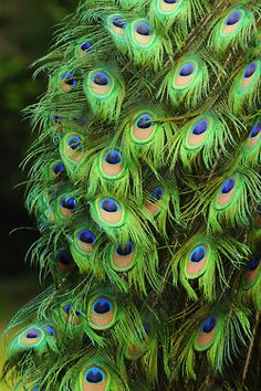 Peacock feathers - nature makes the most beautiful designs! Peacock Colors, Peacock Art, Peacock Feathers, Peacock Decor, Green Peacock, Peacock Theme, Peacock Images, Peacock Pictures, Peacock And Peahen