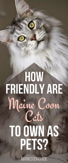 Find out how friendly Maine Coon Cats are to own as pets in your home! Take a look at what Characteristics make a Maine Coon Cat such a loving pet to own. Click to learn more!   Maine Coon Cat   Maine Coon   #mainecoon   #cats   #pets  
