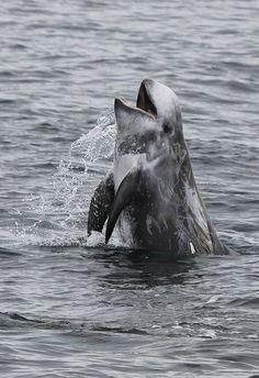 Risso's dolphin in Monterey Bay, CA