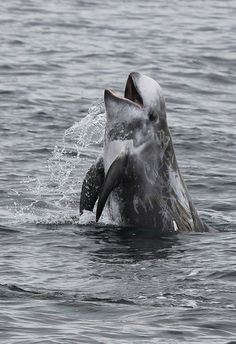 Happy looking Risso's Dolphin