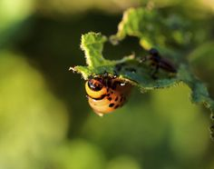 Organic garden pest control is on the minds of many gardeners these days. Take a look at some natural insect repellents you can make for the garden in this article. Read here for more info.