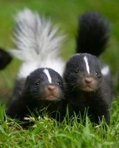 Skunk kits.    Visit our Page -► ツ Amazing Facts & Nature ツ ◄- For more.    Skunks inhabit the Americas from Canada to central South America. They are mammals best known for their ability to secrete a liquid with a strong, foul odor. Skunks are beneficial to farmers, gardeners, and landowners because they feed on a large number of agricultural and garden pests. Insects such as white grubs, cutworms, potato beetle grubs, and other species that damage lawns, crops, or hay are eaten by skunks.