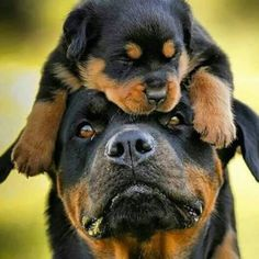 Mother Rottweiler and one of Her Puppies; a Puppy Resting Lovingly on its Mother's Head. Animals And Pets, Baby Animals, Funny Animals, Cute Animals, Nature Animals, Beautiful Dogs, Animals Beautiful, Cute Puppies, Dogs And Puppies