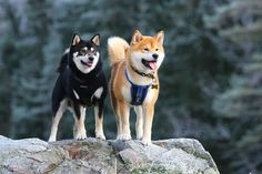 Dude & Kenji..Shiba Inus...a dog named dude? you really can't go wrong.