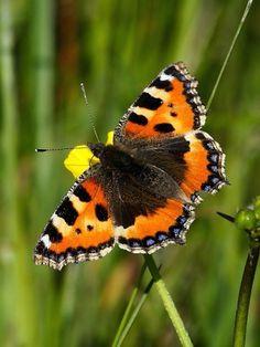 Small Tortoiseshell (Aglais urticae) Beautiful Butterflies, Beautiful Birds, Moth Caterpillar, Butterfly Pictures, Beautiful Creatures, Pet Birds, Animal Kingdom, Mammals, Habitats