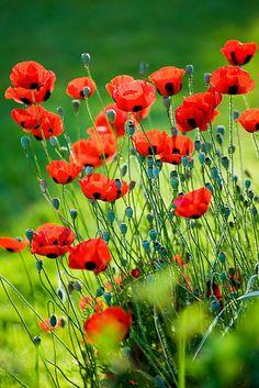 I love poppies...