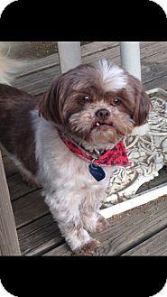 Conway, AR - Shih Tzu. Meet Ranger, a dog for adoption. http://www.adoptapet.com/pet/12907778-conway-arkansas-shih-tzu