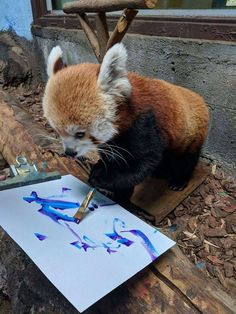 25 Things You Didn& Know About Red Pandas About two-thirds of their food intake is composed of bamboo Red Panda Cute, Panda Love, Cute Funny Animals, Cute Baby Animals, Animals And Pets, Baby Pandas, Photo Elephant, Tier Fotos, My Spirit Animal