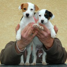 Jack russel terrier the one on the left is just like my dog Cute Puppies, Cute Dogs, Dogs And Puppies, Chihuahua Dogs, Doggies, Jack Russell Puppies, Jack Russell Terrier, Parsons Terrier, Tier Fotos