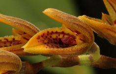 Acianthera klotszchiana