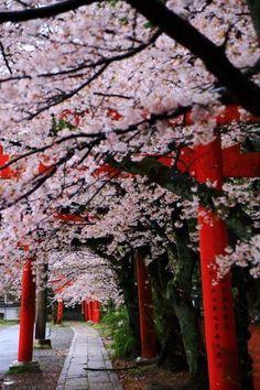 Takenaka Inari Shrine in Sakyo-ku, Kyoto Yoshidakaguraoka; 京都の桜の穴場の竹中稲荷神社の鳥居と満開の桜