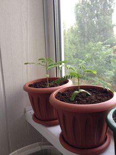 Delonix Regia, Planter Pots, Plant Pots