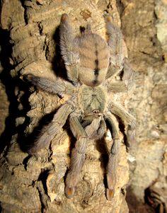 Psalmopoeus Cambridgei -- Trinidad Chevron Tarantula (Wanted List)