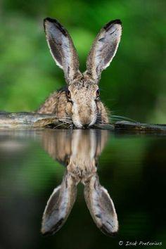 Rabbit by Isak Pretorius Rabbit? Looks like a hare . Wild Rabbit, Rabbit Art, Wild Creatures, Woodland Creatures, Beautiful Creatures, Animals Beautiful, Animals And Pets, Cute Animals, Beautiful Rabbit