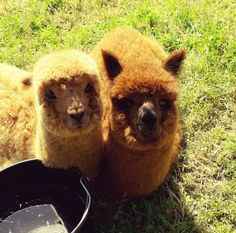 Nos deux alpagas de Planète Alpaga viennent de rejoindre notre famille. Farm Animals, Cute Animals, Llama Alpaca, Cute Sloth, Sloths, Brown Bear, Cows, Carrie, Sheep