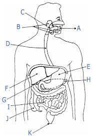 Resultado De Imagen De Partes Del Aparato Digestivo