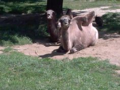 Camel.parents and baby. Milwaukee county zoo. August 8 2013 photo by c.hepp