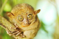 Bu küçük primatların göz bebekleri beyinlerinden daha büyüktür. Bu hayvanlar sıçrama ve tırmanma konusunda çok beceriklidirler. Bir ağaç dalına tutunduklarında onları daldan ayırmak gerçekten çok güçtür.                                          ADI:Tersiyer