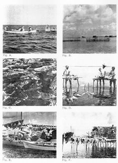 """Fig. A. Handlining over grouper banks - Cay Caulker. Fig. B. Shacks and fish corrals at Cay Glory.  Fig. C. Grouper in corral - Cay Glory. Fig. D. Butchering Tables - Cay Glory.  Fig. E. Shack with fish drying on """"tendedores"""" - Cay Glory. Fig. F. Corned fish drying on boat - Cay Glory."""
