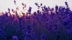 lavedner field