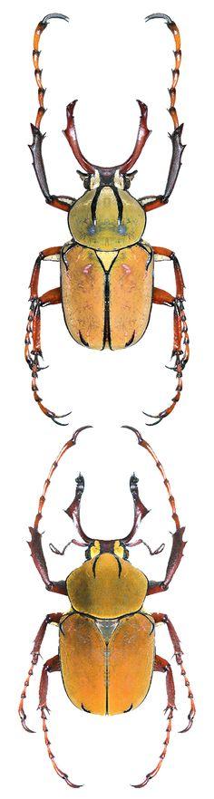 Dicronocephalus wallichii bowringi; Dicronocephalus wallichii bourgoini.