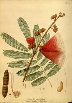 """Anneslea grandiflora (Tabl. 64), drawn & published by William Hooker, March 1. 1807 -- From """"The paradisus londinensis"""", London, printed by D.N. Shury, 1805-1807, v.1-2."""