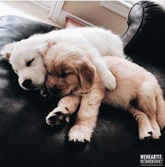 Wonderful Free dogs and puppies golden retriever Style Accomplish you adore your pet dog? Appropriate canine treatment along with coachi Little Puppies, Cute Dogs And Puppies, I Love Dogs, Doggies, Puggle Puppies, Funny Puppies, Maltese Dogs, Baby Dogs, Funny Dogs