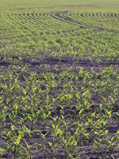 Mais selbst anbauen • Pflanzen Tipps & Tricks • 99Roots.com