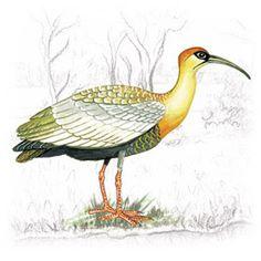Curicaca (Theristicus caudatus)