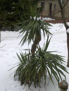Bírja a leghidegebb telet is a yucca pálma